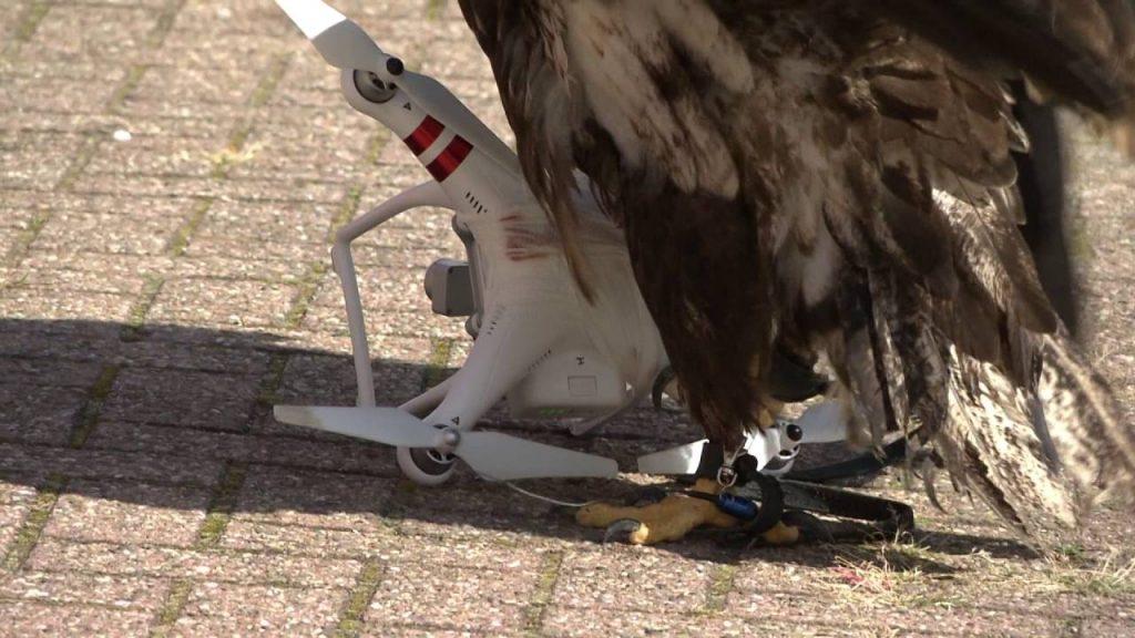 Voilà comment, en plein vol, des aigles bien entraînés abattent des drones   Diyphotography.net – RP