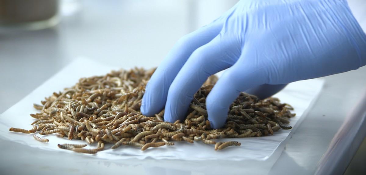 12/09/2067 : L'industrie des insectes mutants, un danger pour les écosystèmes ?