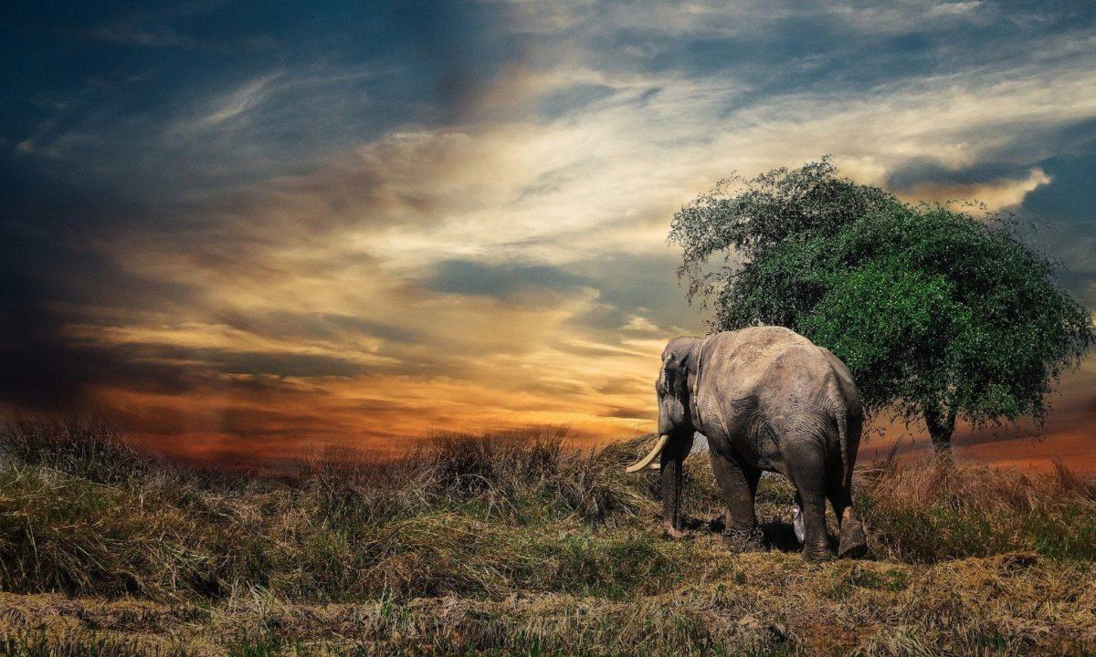 Le dernier éléphant naturel d'Afrique vient de s'éteindre en Tanzanie | 22/06/2020